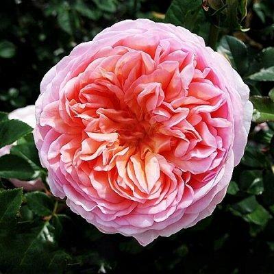Розы Сибири - шикарные новинки! — английская — Декоративноцветущие