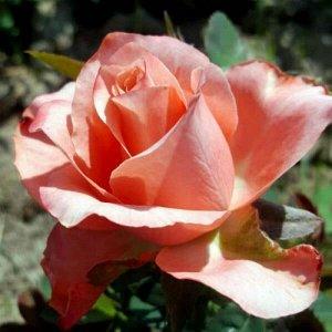 Роза Саванна