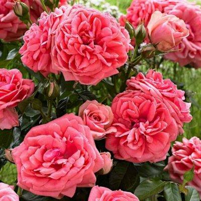 Розы Сибири - шикарные новинки! — Ностальгическая — Декоративноцветущие
