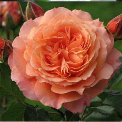Розы Сибири - шикарные новинки! — Ностальгическая new — Декоративноцветущие