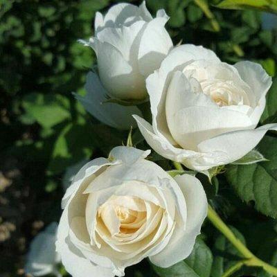 Розы Сибири - шикарные новинки! — Плетистые — Декоративноцветущие