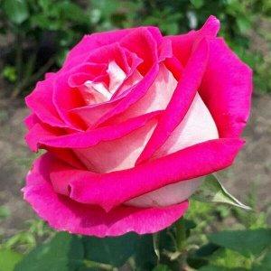Роза Моника Беллучи