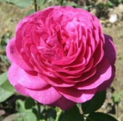 Розы Сибири - шикарные новинки! — Флорибунда — Декоративноцветущие