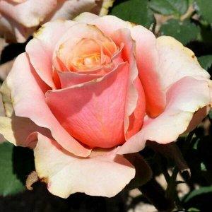 Роза Донателла