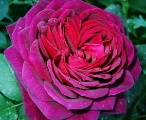 Роза Графиня фон Хартенберг