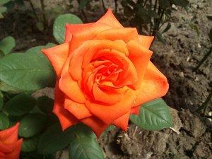 Роза чайно-гибридная Наранга