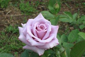Роза чайно-гибридная Блюберд