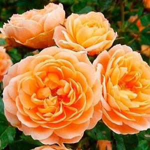 Роза чайно-гибридная Голд Раш