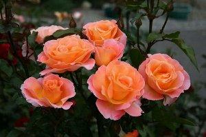 Роза чайно-гибридная Розмари Харкнесс