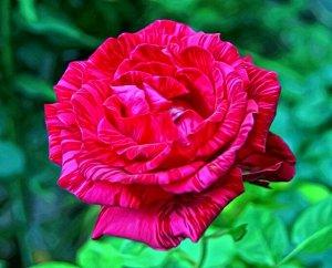 Роза чайно-гибридная Рэд Интуишн