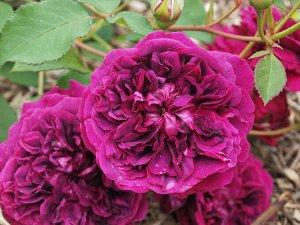 Роза чайно-гибридная Уильям Шекспир