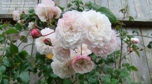 Роза чайно-гибридная Фелисити Перпетью