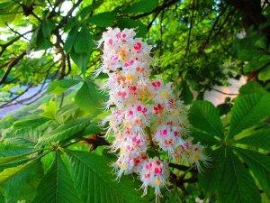 Каштан Многие садоводы мечтают украсить свои участки, посадив каштан.Величественное дерево с роскошной раскидистой кроной никого не оставит равнодушным. Утонченную красоту обретает этот исполин, когда