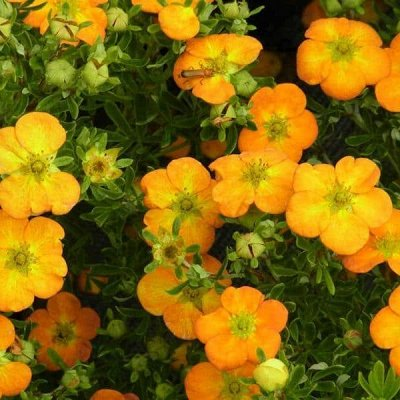 Весенняя посадка: Вишня, Барбарис и Облепиха 🍒 — Декоративно-Цветущие разные — Декоративноцветущие