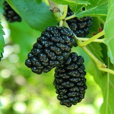 Весенняя посадка: Вишня, Барбарис и Облепиха 🍒 — Саженцы плодовые разное — Плодово-ягодные