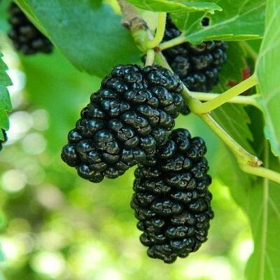 Осенняя посадка: Малина: Красная, Черная и Белая 🍓 — Саженцы плодовые разное
