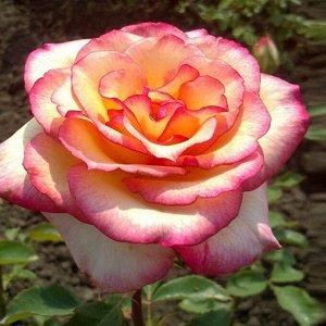 Роза чайно-гибридная Амазонка (Amazon)