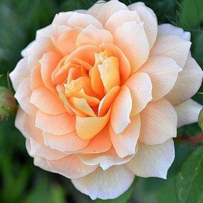 Розы Сибири! Таких цен нет нигде! Лучшая морозостойкость! — Английские — Декоративноцветущие