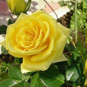 Илиос чг Морозостойкость до -25 Роза цвета желтого лимона, необычайно яркая и приятная. Цветы необычные, раскрываются в плоскую розетку, густомахровые (26-40 лепестков), 8-10 см в диаметре, долго сохр