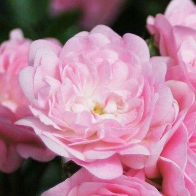 Розы Сибири! Таких цен нет нигде! Лучшая морозостойкость! — Почвопокровные — Декоративноцветущие