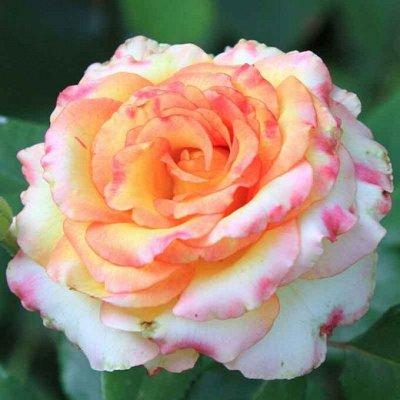 Розы Сибири! Таких цен нет нигде! Лучшая морозостойкость! — Срезочные — Декоративноцветущие