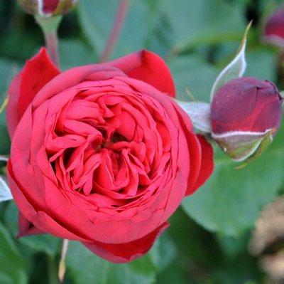 Розы Сибири! Таких цен нет нигде! Лучшая морозостойкость! — Флорибунда — Декоративноцветущие