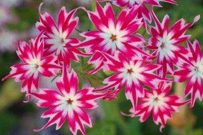 Семена Алтая. — Цветы однолетние — Семена однолетние