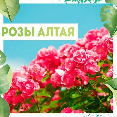 Нужная покупка👍 Зеленое удобрение- Сидераты — Розы Алтая — Декоративноцветущие