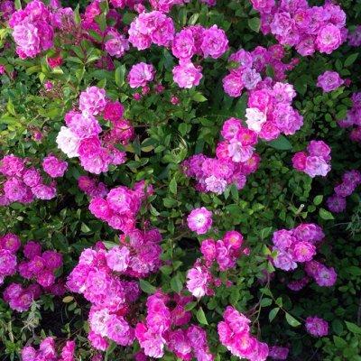 Распродажа растений. Быстрая раздача. — Розы плетистые и парковые зимующие — Декоративноцветущие