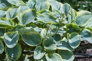 Хоста круп желто-зеленый круглый лист