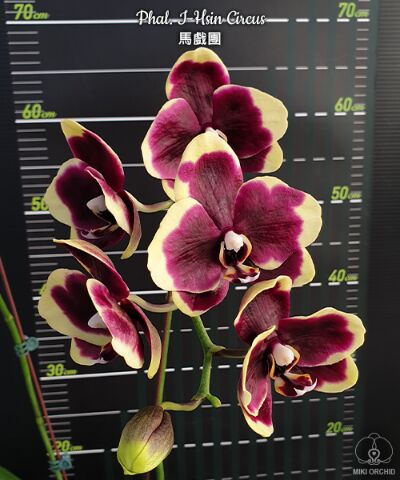Экзотика Азии. Рассада редких орхидей. поставка на лето. — Отправляем сразу в заказ поставщику — Декоративноцветущие