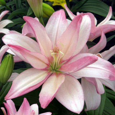 Растения! Выгодные цены! Ограниченное количество! Выбор!  — Лилии трубчатые, азиатские гибриды — Декоративноцветущие