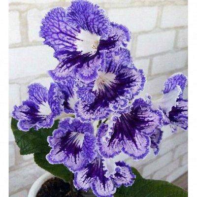Комнатные цветы. Большой ассортимент и выбор пунктов выдачи — Стрептокарпусы. Взрослые растения. — Декоративноцветущие