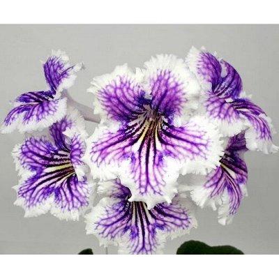 Комнатные цветы. Большой ассортимент и выбор пунктов выдачи — Стрептокарпусы. Стартеры. — Декоративноцветущие