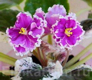 Фиалка Очень крупные полумахровые ярко - фуксиновые цветы с оборчатой белой каймой. В прохладных условиях на цветке получаются тёмные кончики за счет сгущения цвета. Пестролистная розетка.