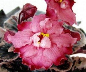 Фиалка Крупные цветы изысканной формы оттенка созревающей клубники украшают аккуратную розетку из тёмно - зелёных листьев с розово - кремовой пестролистностью.  (Описание автора).