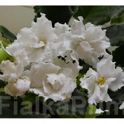 Комнатные цветы. Большой ассортимент и выбор пунктов выдачи — Фиалки. Листья неукоренённые. — Декоративноцветущие