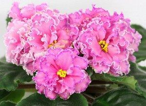 Фиалка Очень крупные волнистые махровые розовые звёзды с малиновой фантазийной тесьмой и белым краем. Короткие цветоносы, обильное цветение. Зубчатые средне - зелёные листья, аккуратная некрупная розе