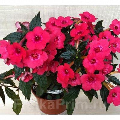 Комнатные цветы. Большой ассортимент и выбор пунктов выдачи — Ахименесы. Ризомы неукоренённые — Декоративноцветущие