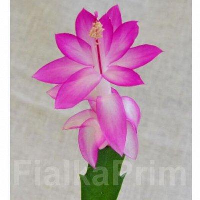 Комнатные цветы. Большой ассортимент и выбор пунктов выдачи — Шлюмбергеры и рипсалидопсисы — Кактусы и суккуленты