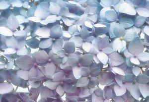 Фотообои Светло-Голубые гортензии
