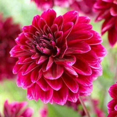 Растения! Выгодные цены! Ограниченное количество! Выбор!  — Георгины — Декоративноцветущие