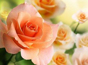 Фотообои Розы 2