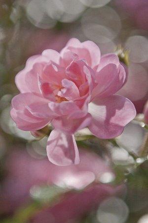 Фотообои Цветок роза