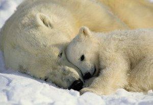 Фотообои Белые медведи