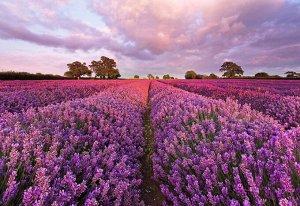Фотообои Цветы лаванда