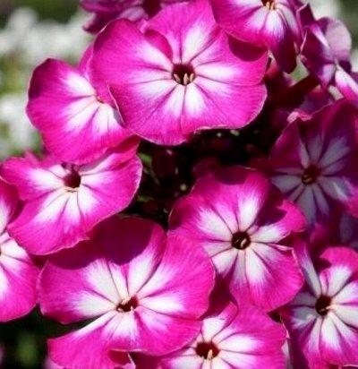 Растения! Выгодные цены! Ограниченное количество! Выбор!  — Флоксы — Декоративноцветущие