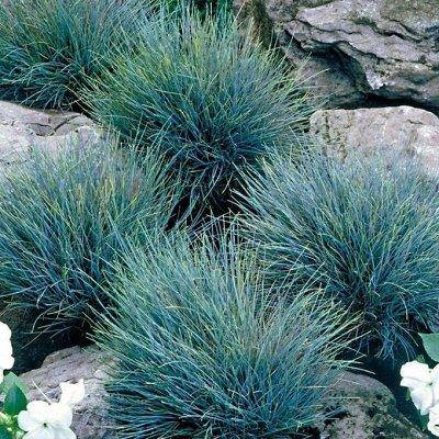 Растения! Выгодные цены! Ограниченное количество! Выбор!  — Травы и папоротники — Декоративнолистные