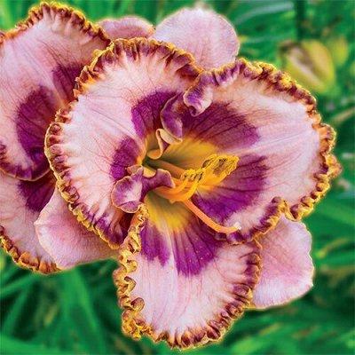 Растения! Выгодные цены! Ограниченное количество! Выбор!  — Лилейники — Декоративноцветущие