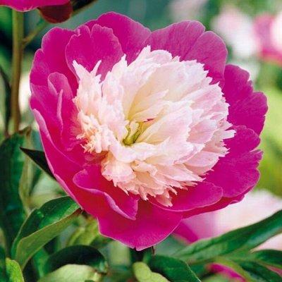 Растения! Выгодные цены! Ограниченное количество! Выбор! — Пионы — Декоративноцветущие